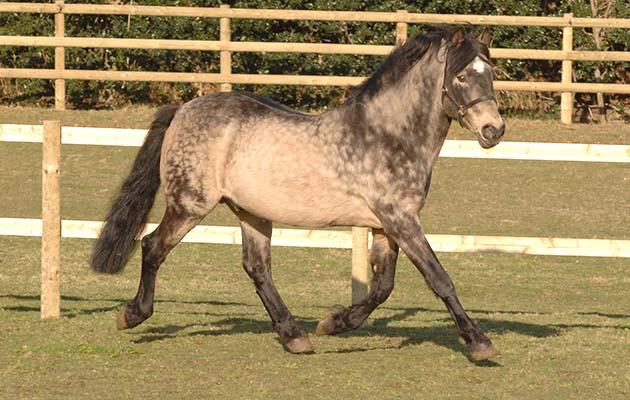 Você conhece o cavalo Connemara