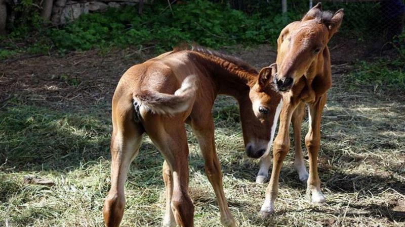 Égua lusitana dá à luz potros gémeos
