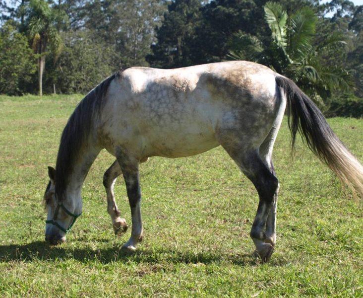 Cavalo Puro Sangue Lusitano – PSL