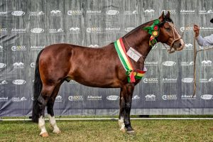 Guarapuava - Gladiador de Rosazul - Crédito Felipe Ulbrich ABCCC