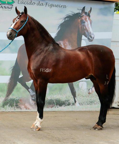 Lúcido da Figueira vale R$ 5 milhões e é o cavalo mais caro da Exposição Mangalarga Marchador, em BH, Foto Aladim Zenith