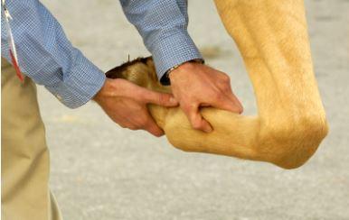 Mineralização do tendão e ligamento do cavalo, causa de preocupação