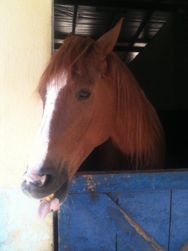 Careta de cavalo, Biscoito