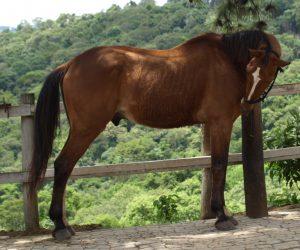Cavalo experiente - Passieur