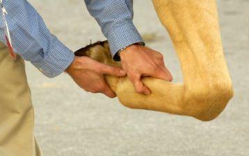 Reabilitando Cavalos com Lesões nos Membros Inferiores