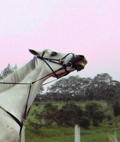 Cavalo batendo ou balançando a cabeça