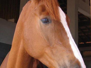 Estudo: Cavalos Podem Sorrir … da Maneira Própria