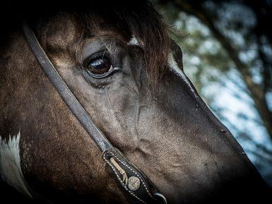 Festejos Farroupilha exigem cuidados redobrados com saúde de equinos