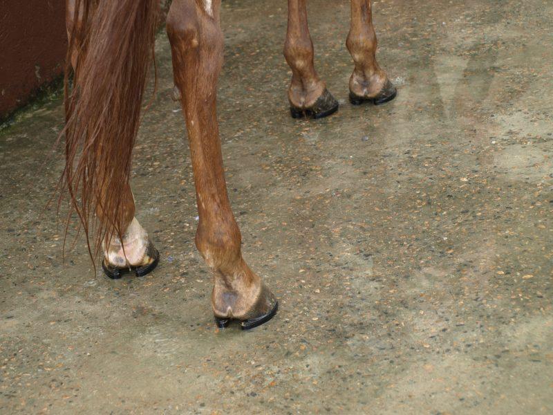 Casco dos cavalos