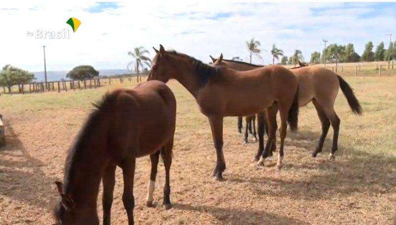 Agro Nacional mostra a história do cavalo Mangalarga Marchador