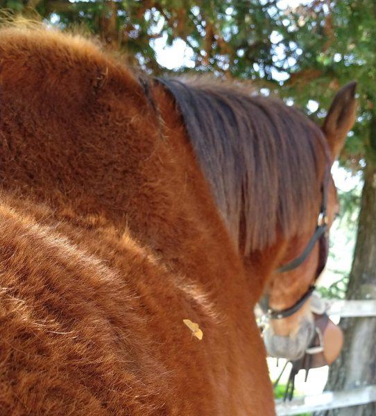 Cavalo Idoso
