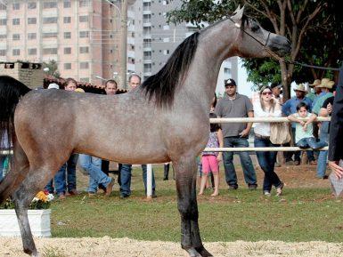 Indaiatuba sedia exposição nacional de cavalos árabes com programação infantil; entrada é gratuita
