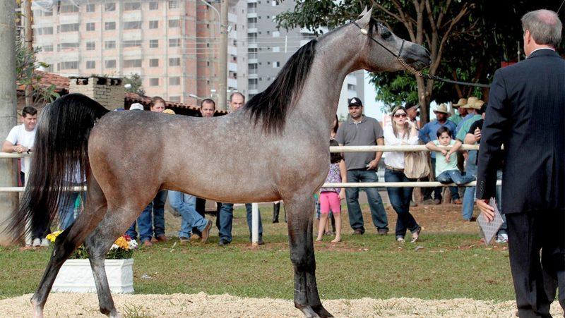 Indaiatuba sedia exposição nacional de cavalos árabes