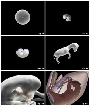 Desenvolvimento embrionário do potro