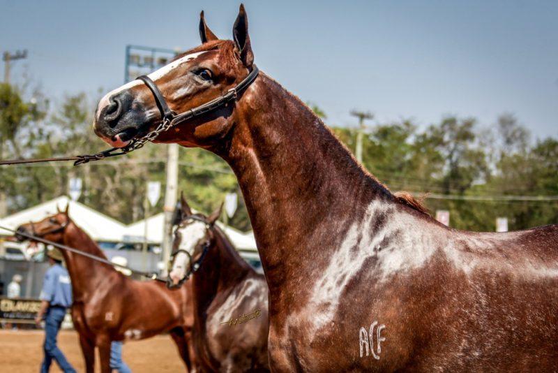 O evento reunirá os melhores exemplares da raça Mangalarga. Crédito da foto: Márcio Mitsuishi.