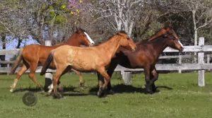 Programa Cavalos Crioulos Oficial de 06-10-2019