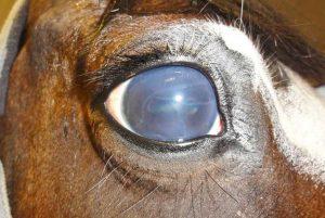 Como lidar com a perda da visão dos cavalos