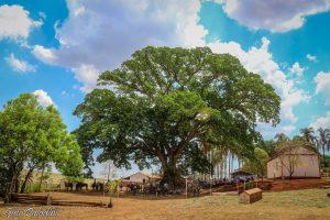 Figueira centenária, cartão postal da Hípica Monte Alegre