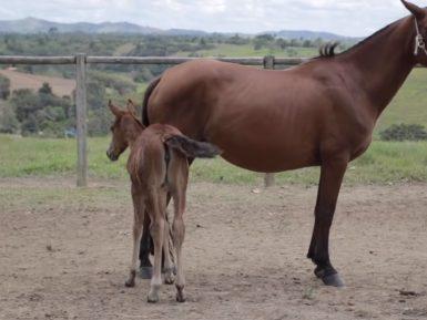 Programa Cavalo Mangalarga Marchador 529