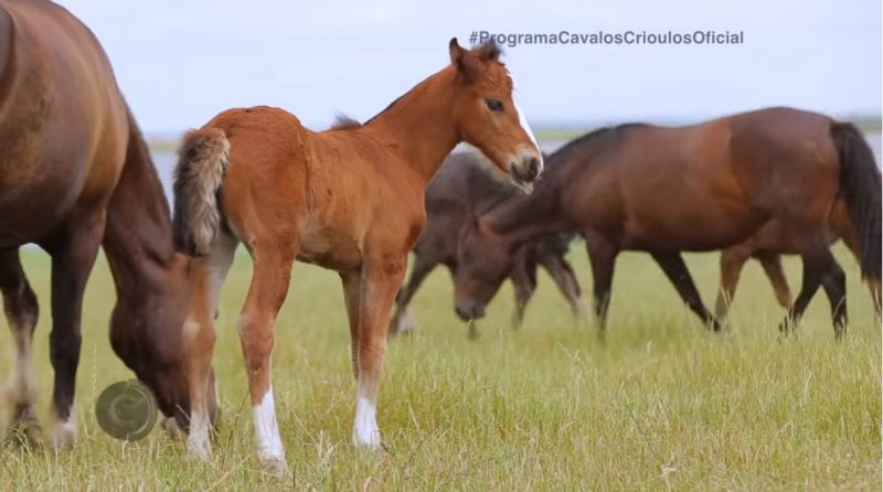 Programa Cavalos Crioulos 15-12-2019